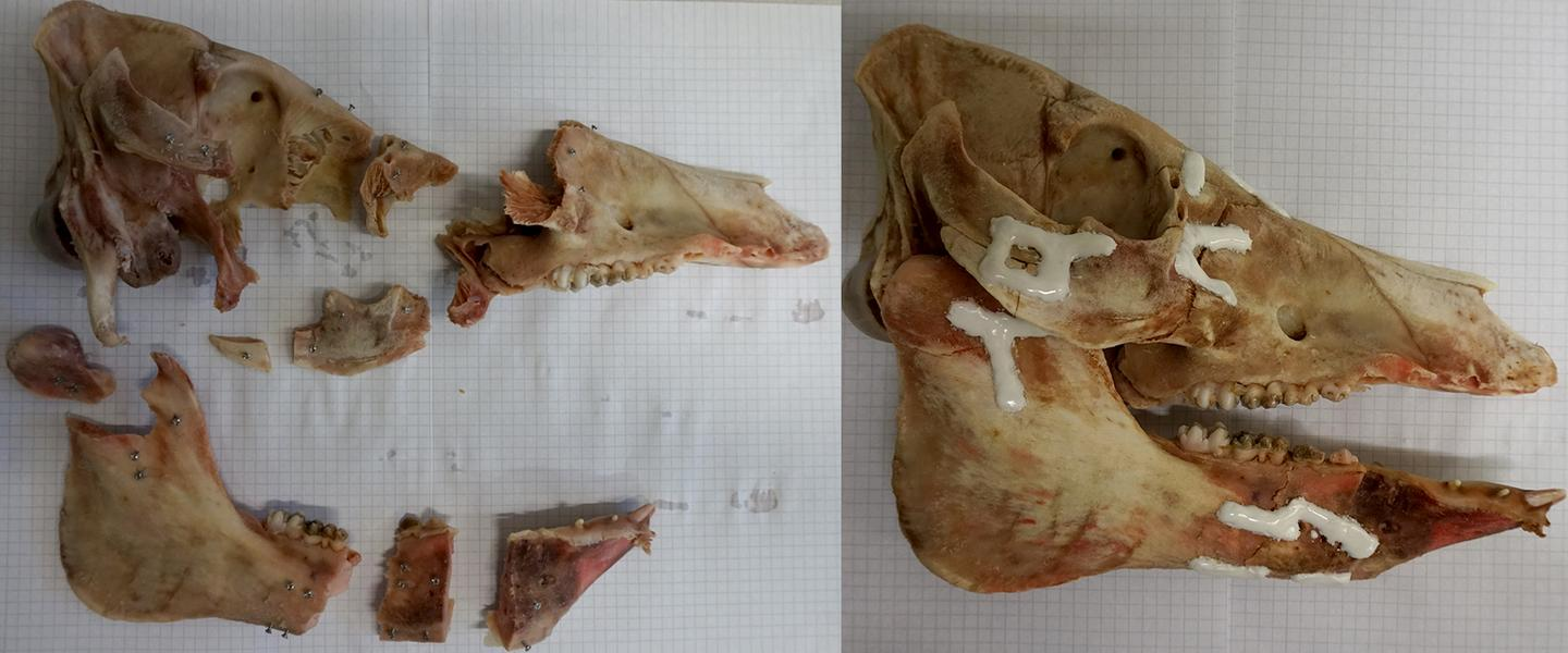 A smashed pig's skull, reconstructed using AdhFix patches