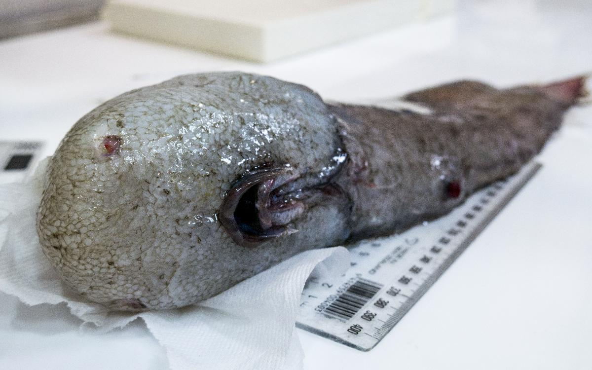 When this bizarre faceless fishwas first pulled off the ocean floor the team thought they had discovered a new species