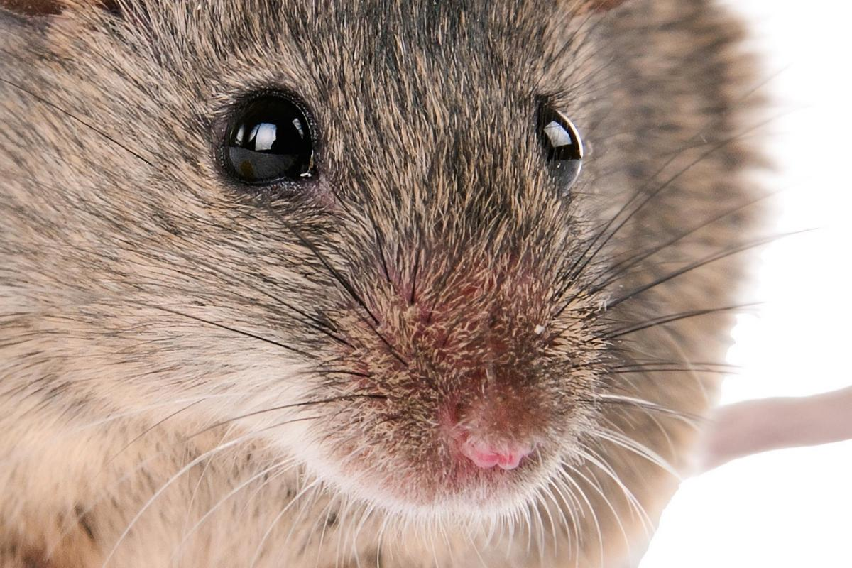 Scientists have used nanotechnology to give mice the ability to perceive near-infrared light
