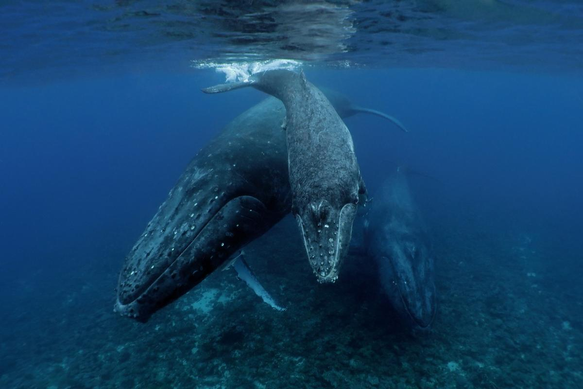 Commended, Category - Compact. Humpback whales off the coast of Tonga