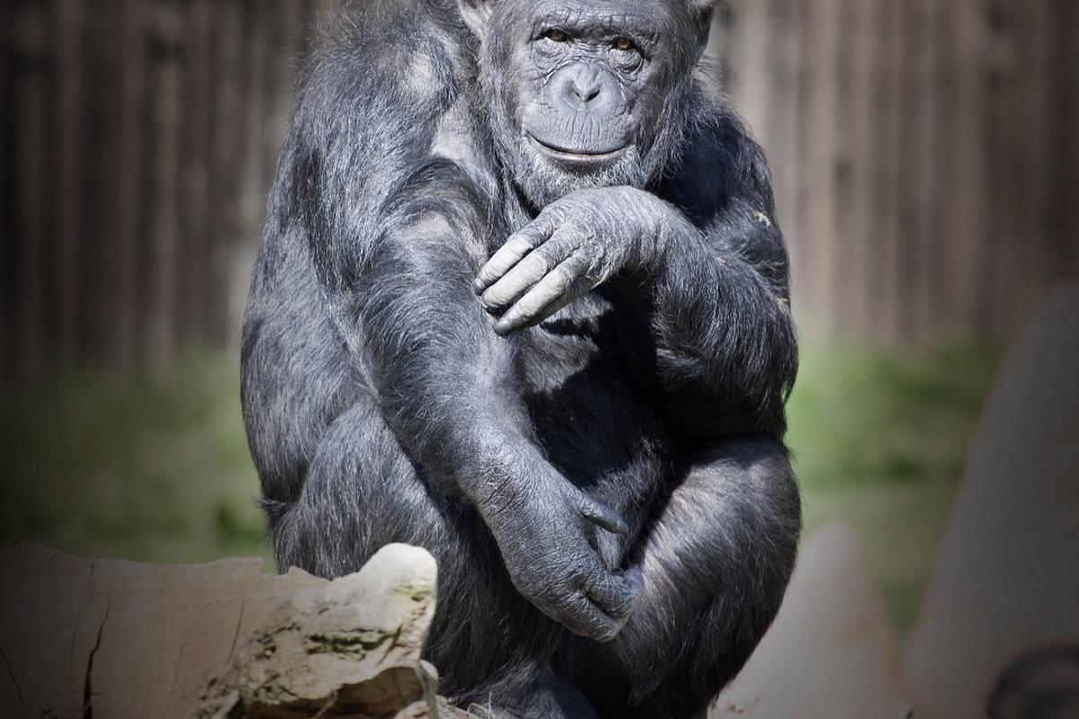 If you have a false belief, a chimp may be capable of realizing it