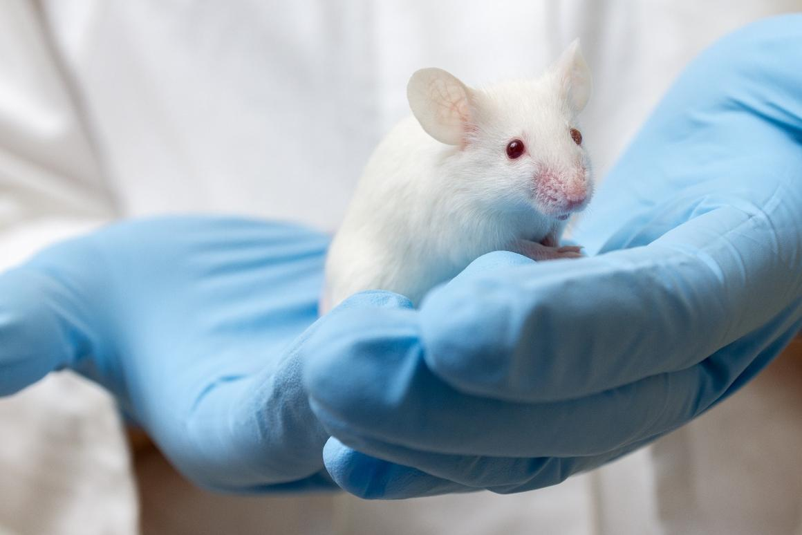 Scientists have used a drug known as J147 to reverse Alzheimer's-like deterioration in mice