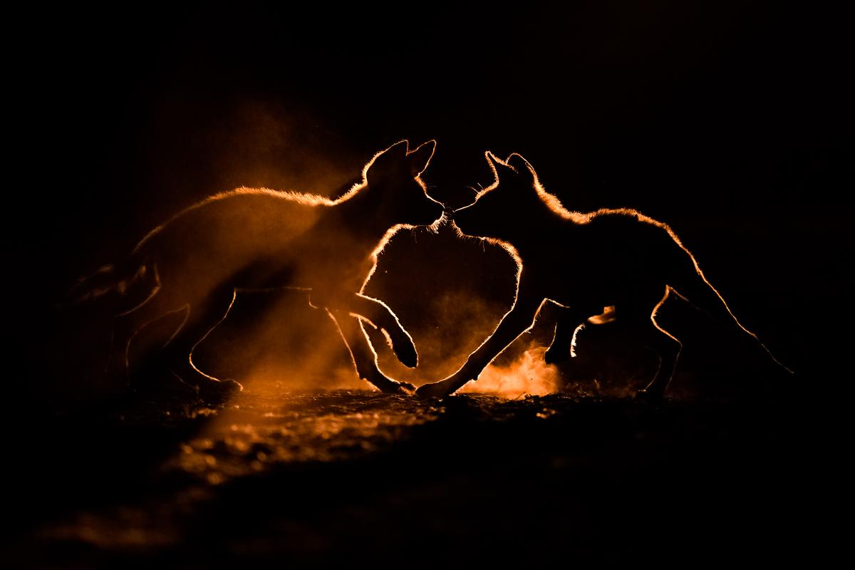 A pair of wild dog pups play in the dust in South Africa, after photographer Bence Mate tracked them for five weeks
