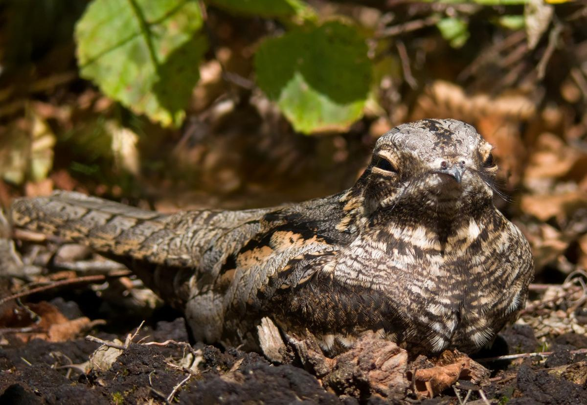 The European nightjar, which blends in nicely with its surroundings