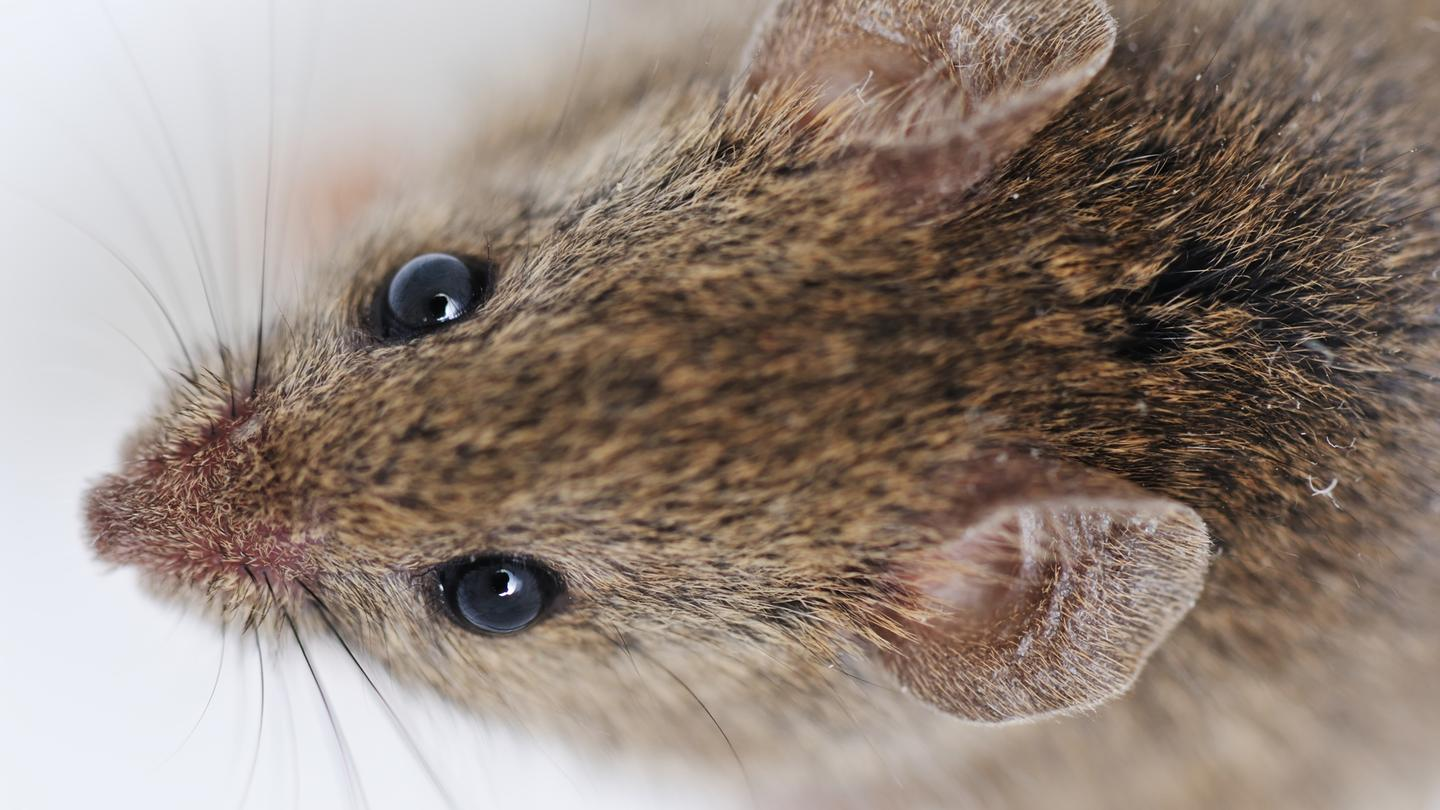 An infusion of blood from young mice has led to cognitive improvements in older mice (Photo: Shutterstock)