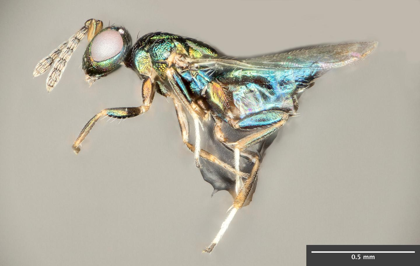 The crypt-keeper wasp, Euderus set