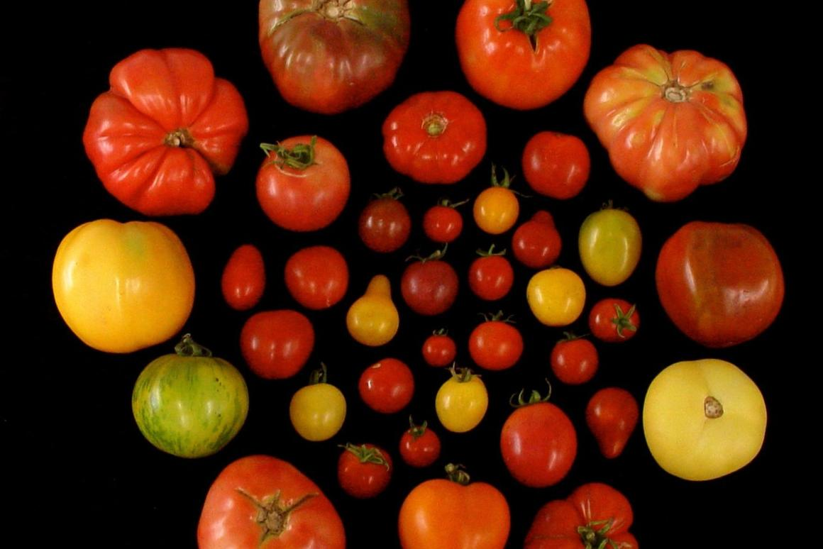 Researchers at the University of Florida are planning to taketomatogenes that correspond to tastiness, which are more common in heirloom tomato varieties (pictured)and reintroduce them to commercial crops