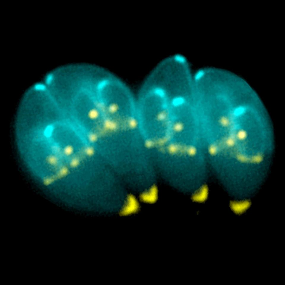 Toxoplasma gondii, the parasite responsible for the disease toxoplasmosis, has been seen to alter behavior and cognition in some infected subjets