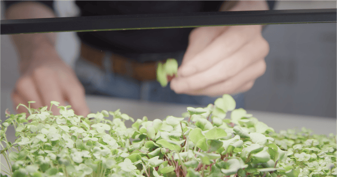 The tablefarm is a tiny garden designed to raise and harvest microgreens
