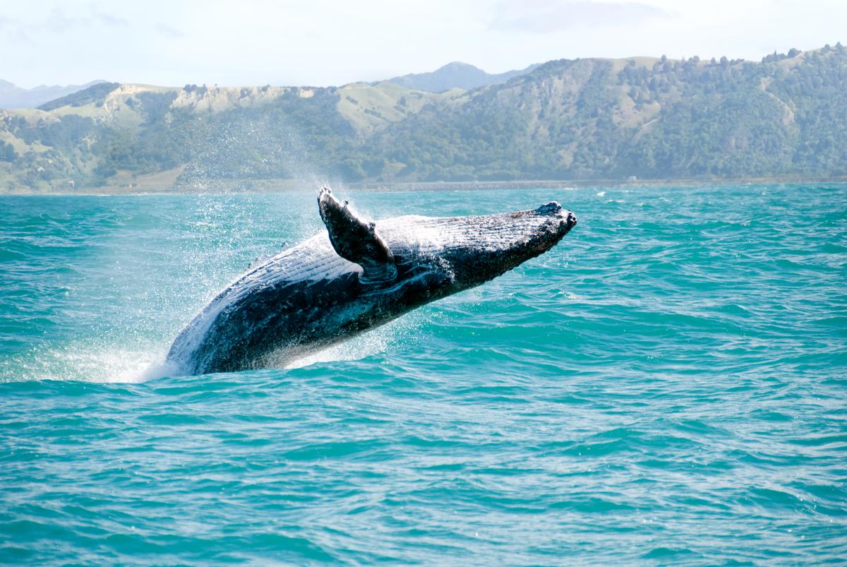 Restoring whale populations could help fight the climate crisis, according to the IMF