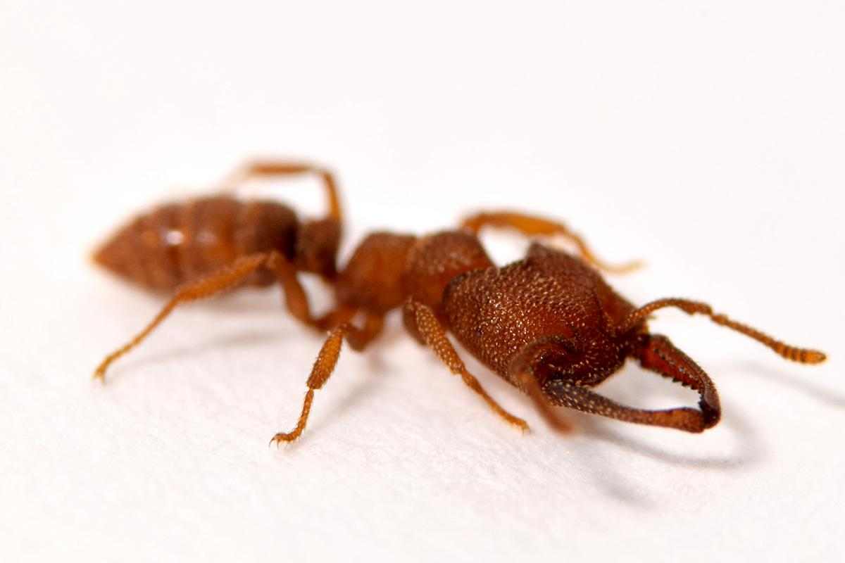 A rare species of Dracula ant, known as Mystrium camillae, has snapped up the record for fastest animal movement