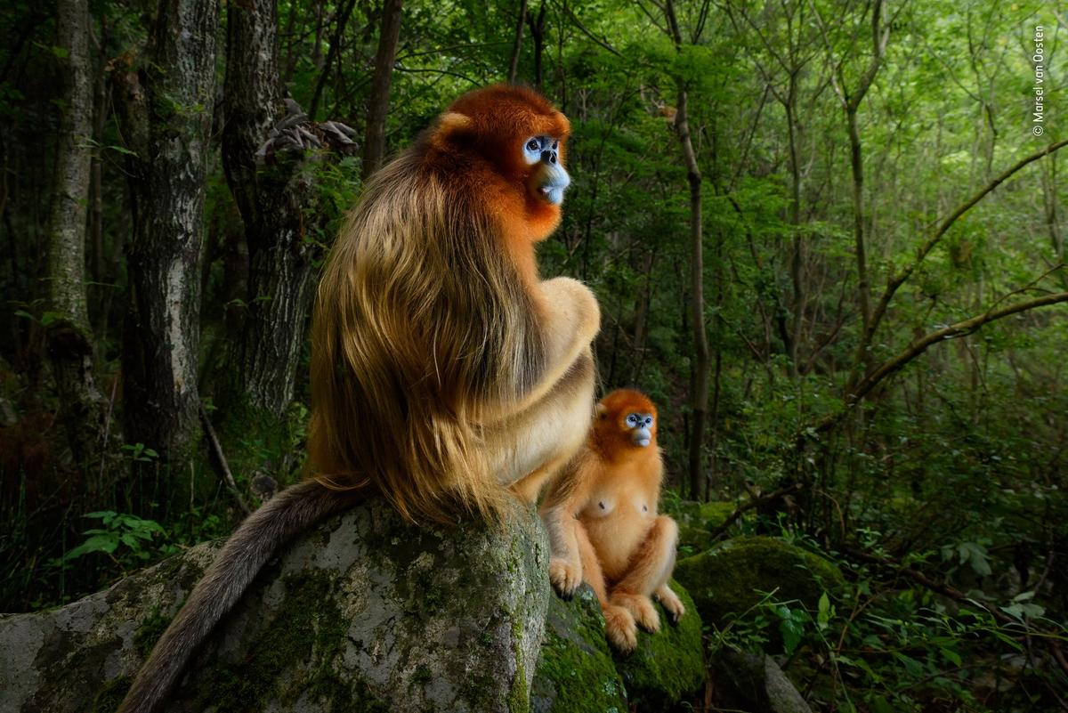 The Golden Couple by Marsel van Oosten, The Netherlands, Grand Title Winner 2018. A male Qinling golden snub-nosed monkey rests briefly on a stone seat. He has been joined by a female from his small group. It's spring in the temperate forest of China's Qinling Mountains, the only place where these endangered monkeys live