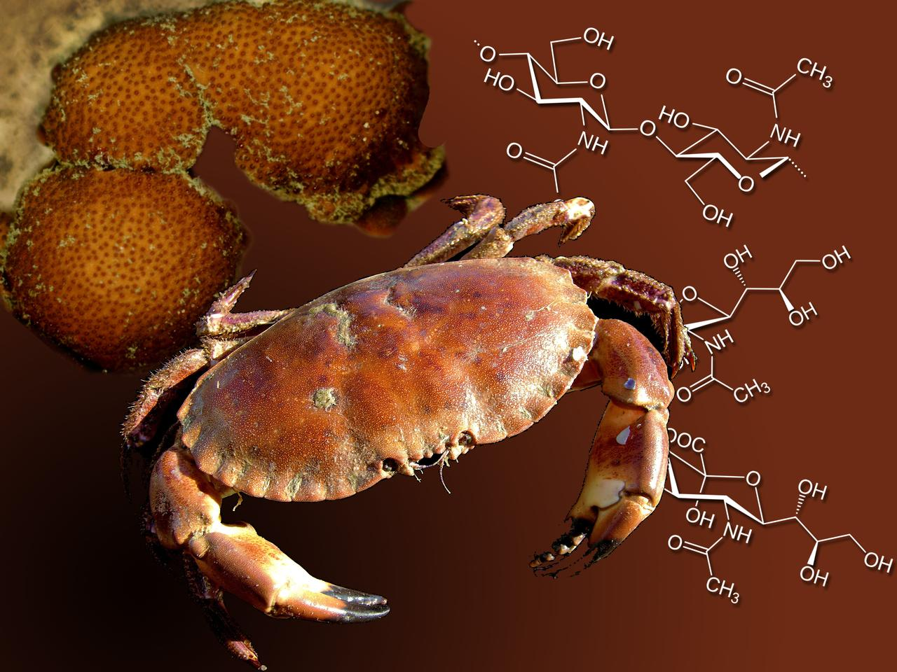 The chitin found in crab and lobster shells is being used in a process that could lead to much cheaper antiviral drugs