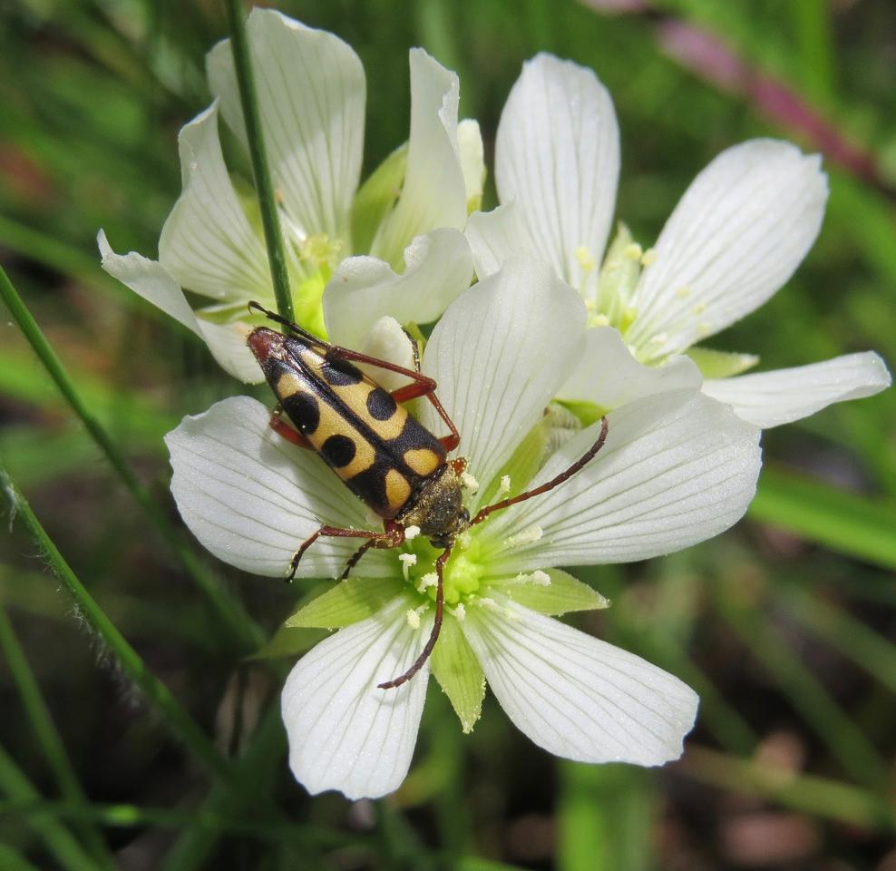 The notch-tipped flower longhorn beetle is a key pollinator for the Venus flytrap flowers