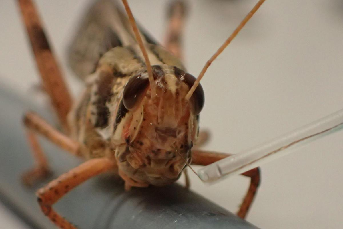 Locusts could one day be used to sniff out explosives