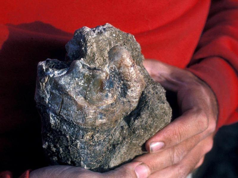 Jawbone of a 130,000-year-old mastodon found in Southern Calfornia