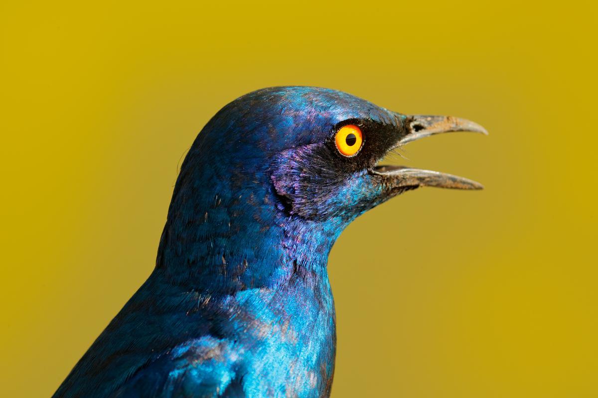 Unlike humans, birds can perceive ultraviolet light