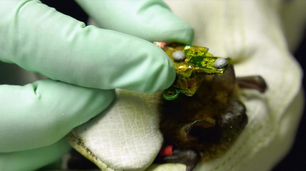 The device is small and light enough that a bat can still fly while wearing it