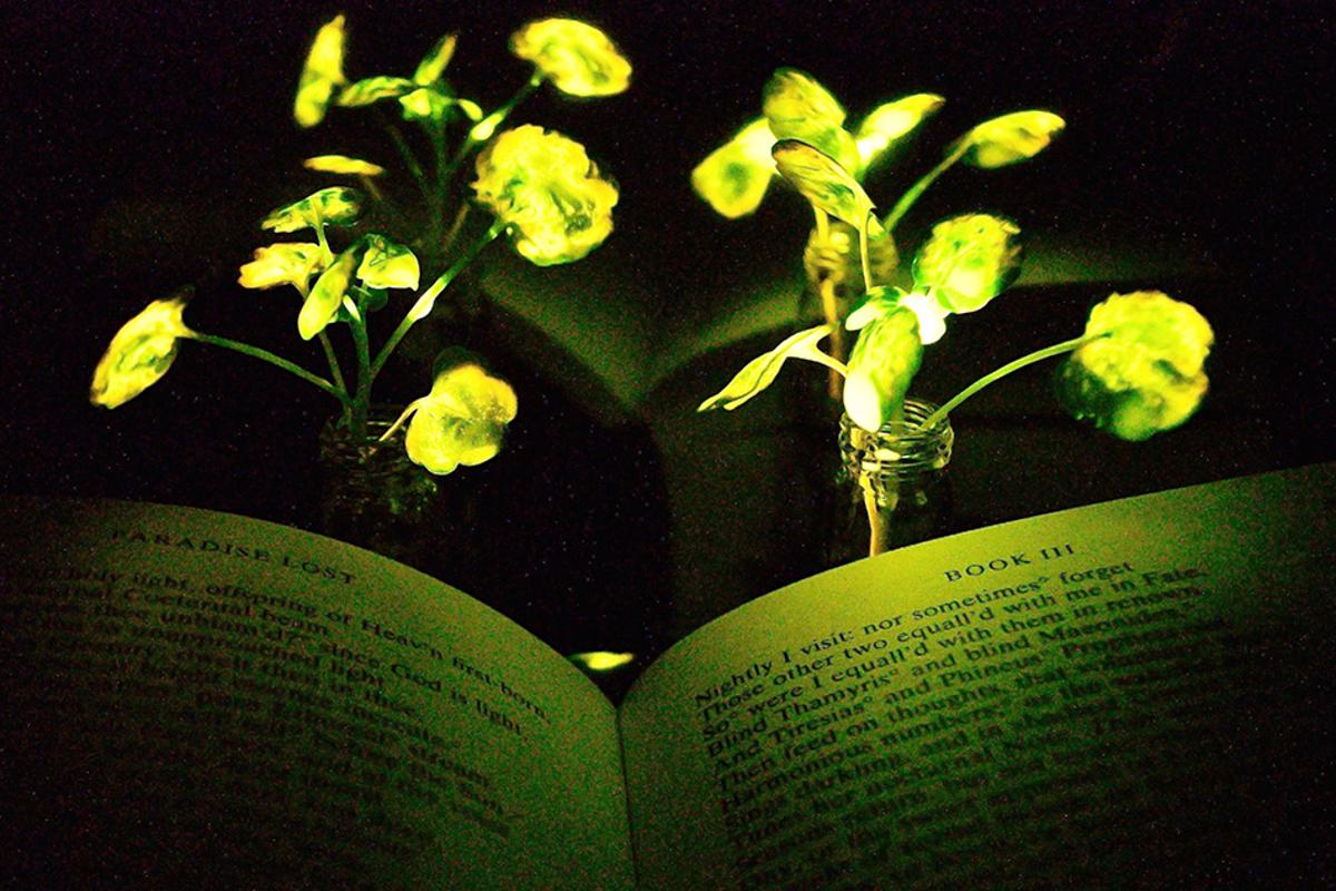 MIT researchers have created glowing plants, which could eventually be used to light rooms or streets without electricity