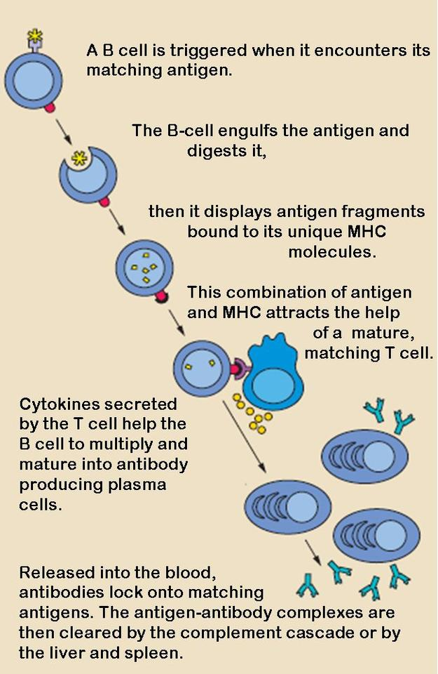 Schematic of how B-cells work within the immune system response (Photo: National Institutes of Health)