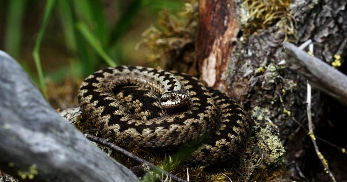 European viper's zig-zag pattern provides three-in-one protection