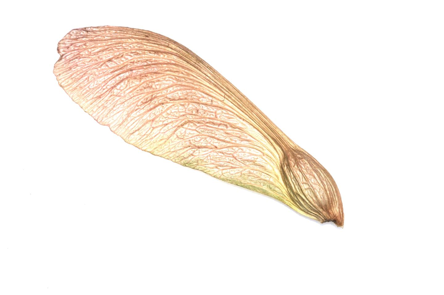 The venerable maple seed on which the Samara UAV is based (Photo: Shutterstock)