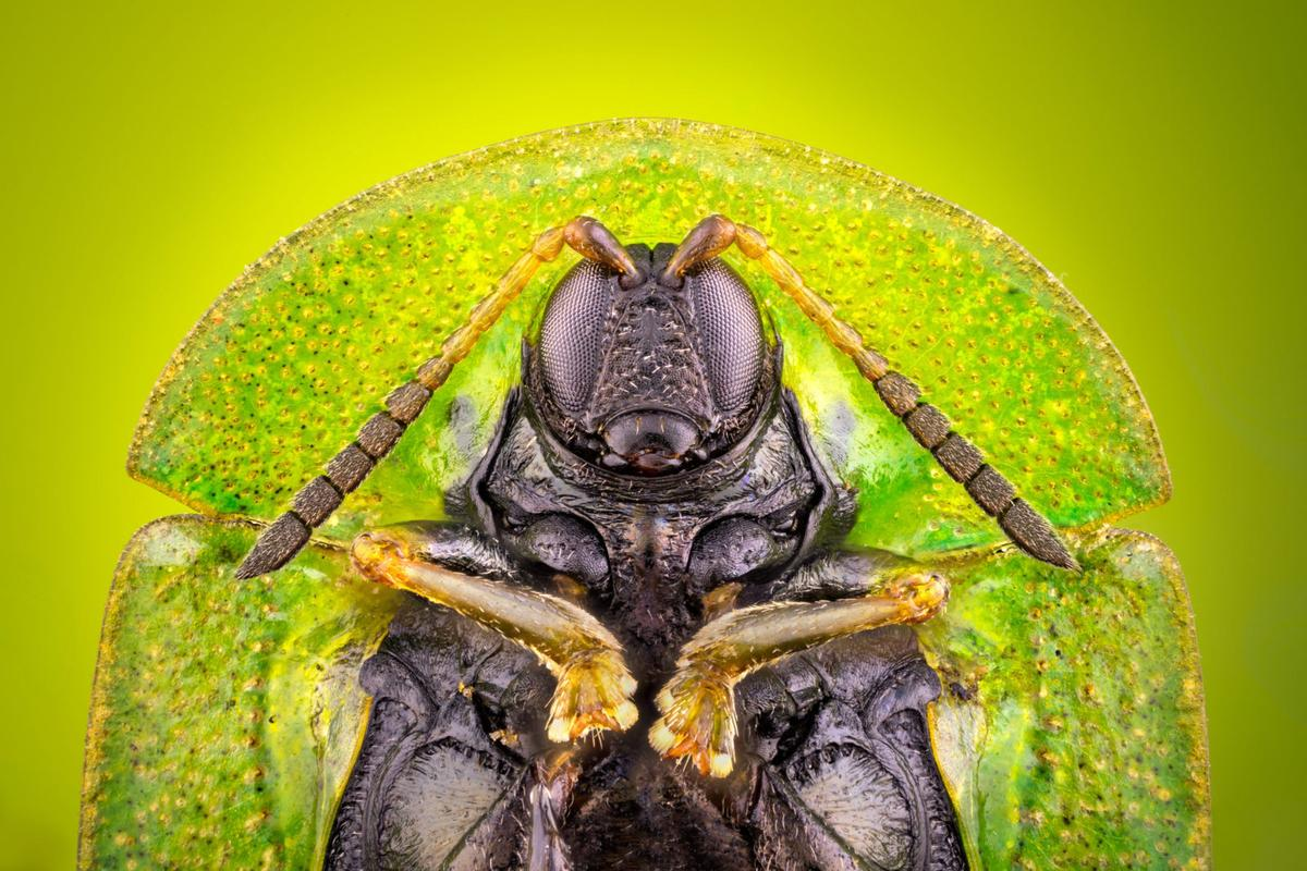 Image of Distinction: Cassida rubiginosa (thistle tortoise beetle), ventral view