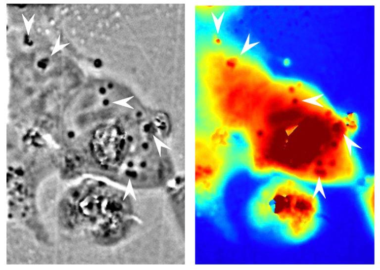 Left: Reflectin nanostructures can be seen inside human cells as the darker areas. Right: Differences in light paths through the material, with red being longer and blue being shorter