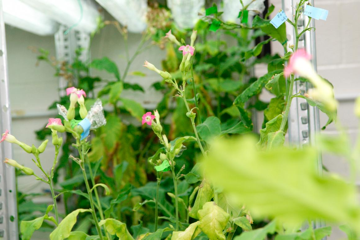 New research has found that tobacco plants can be genetically modified to produce antibodies against the rabies virus