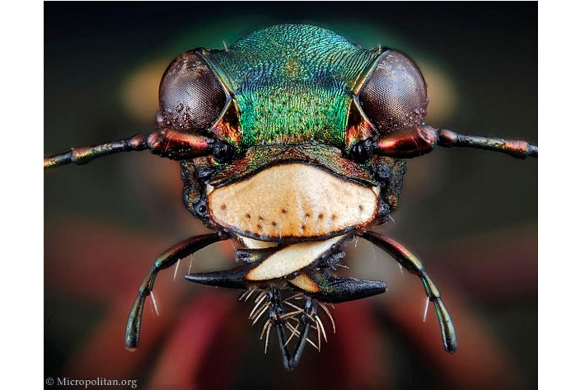Cicindela campestris, the green tiger beetle(Photos: Micropolitan Museum)
