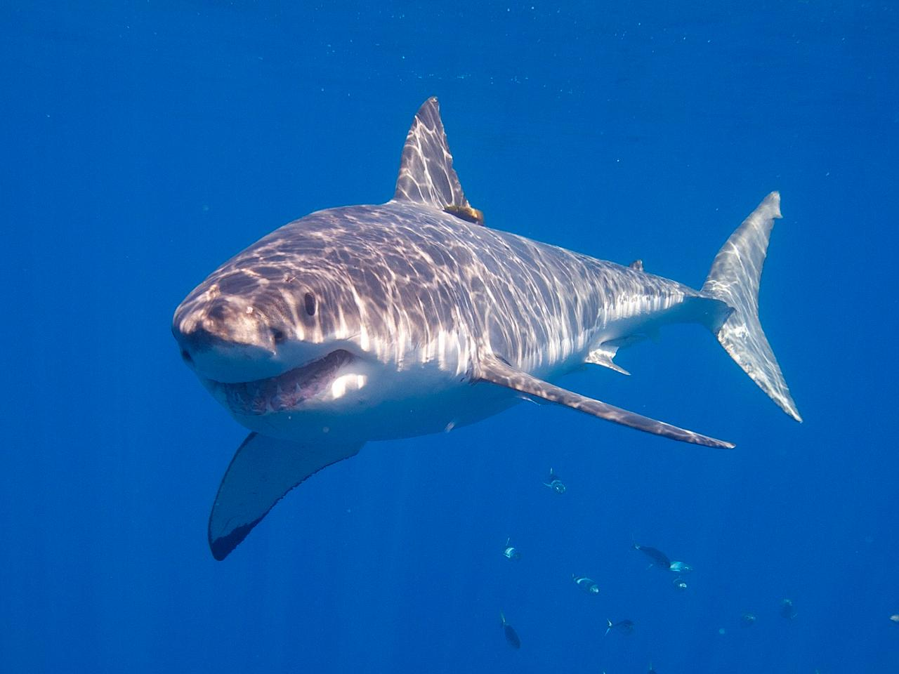 The setup stopped great white sharks from taking the bait 10 out of 10 times on their first approach, but this figure dropped to nine out of 10 on subsequent approaches