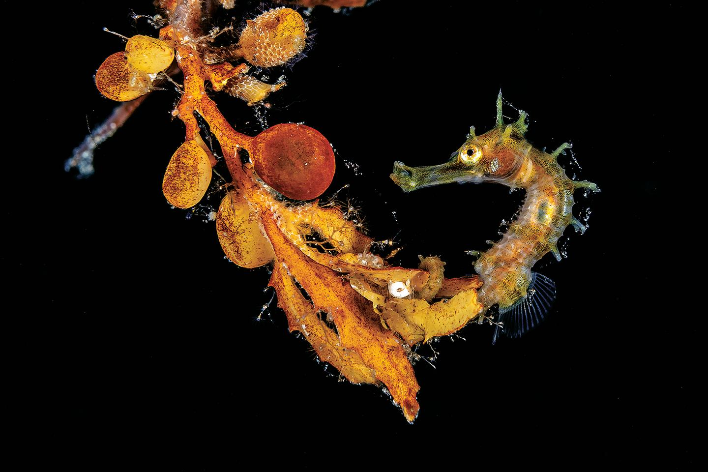 Winner - Macro. West Palm Beach, Florida. A seahorse floating on a small clump of sargassum