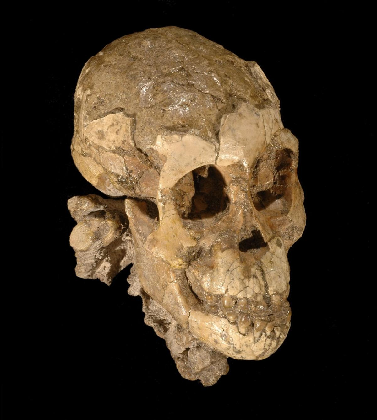 The skull of Selam, a 2 1/2-year-old toddler found in Dikika, Ethiopia