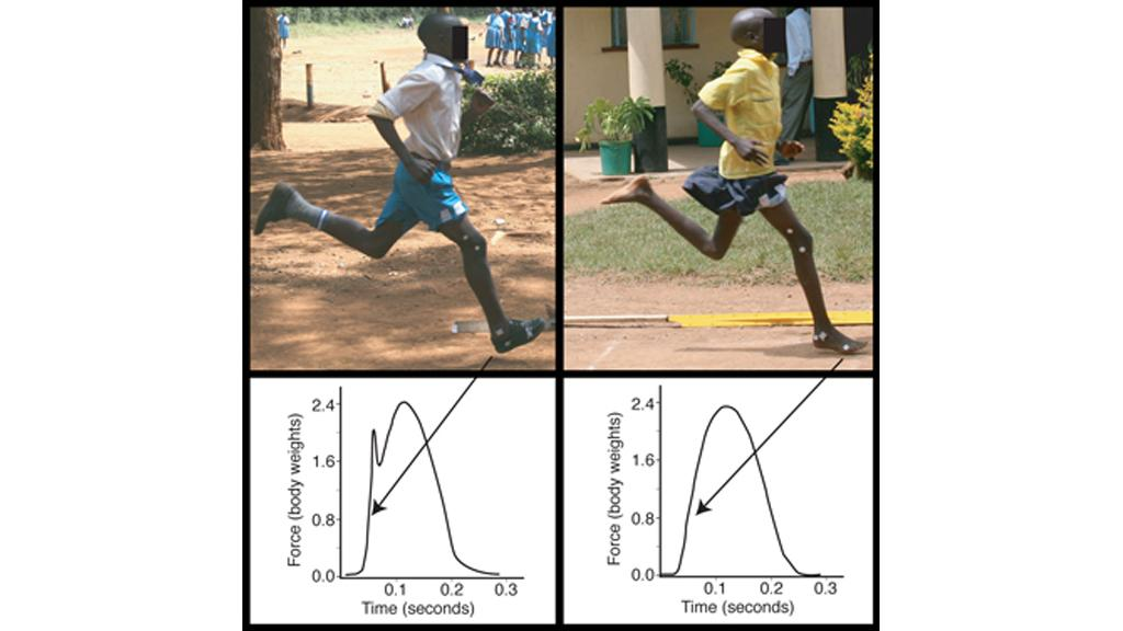 The representative force traces showing how the two styles of running (shod: left and barefoot: right) differ in the force generated when the foot collides with the ground (Image: Daniel E. Lieberman/Harvard University)