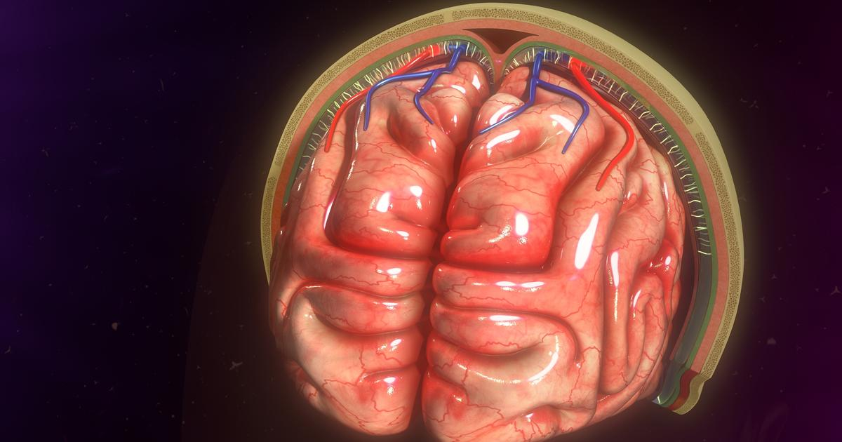 Immune cells discovered protecting the brain are trained in the gut