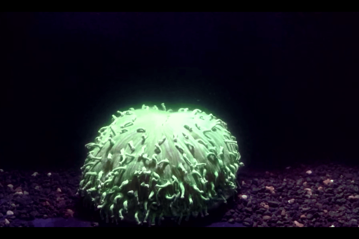 H. actiniformis happens to be a coral species particularly resilient to coral bleaching