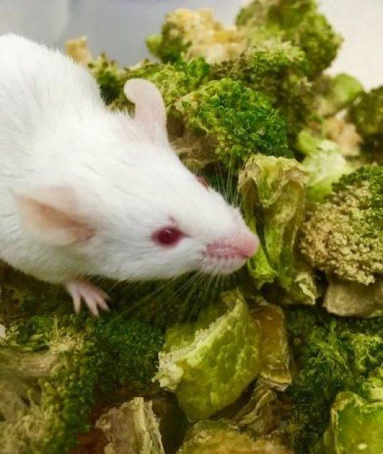 One of the mice fed with the engineered microbes