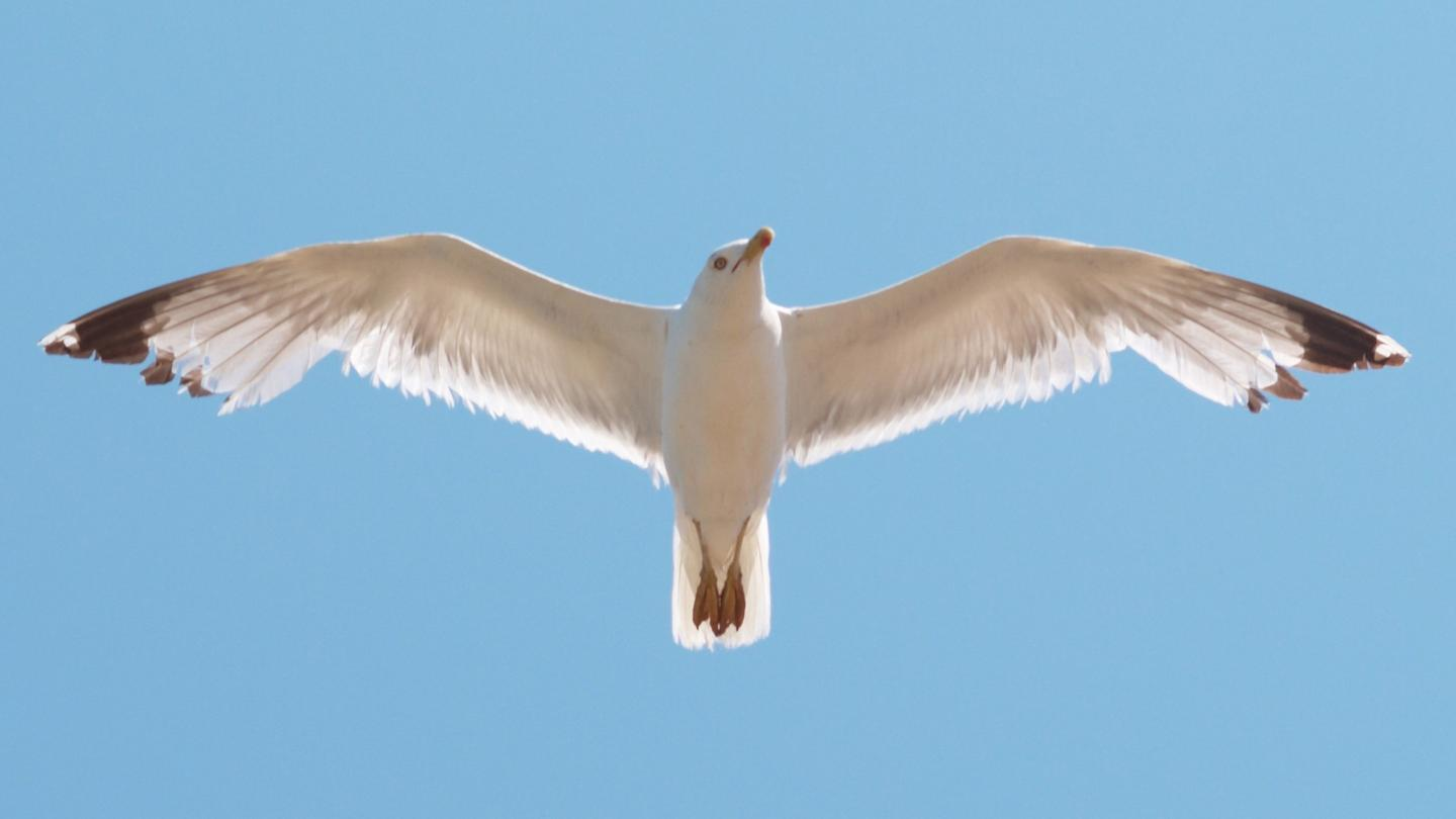 Blades shaped like seagull wings may significantly increasethe power output of small-scale wind turbines
