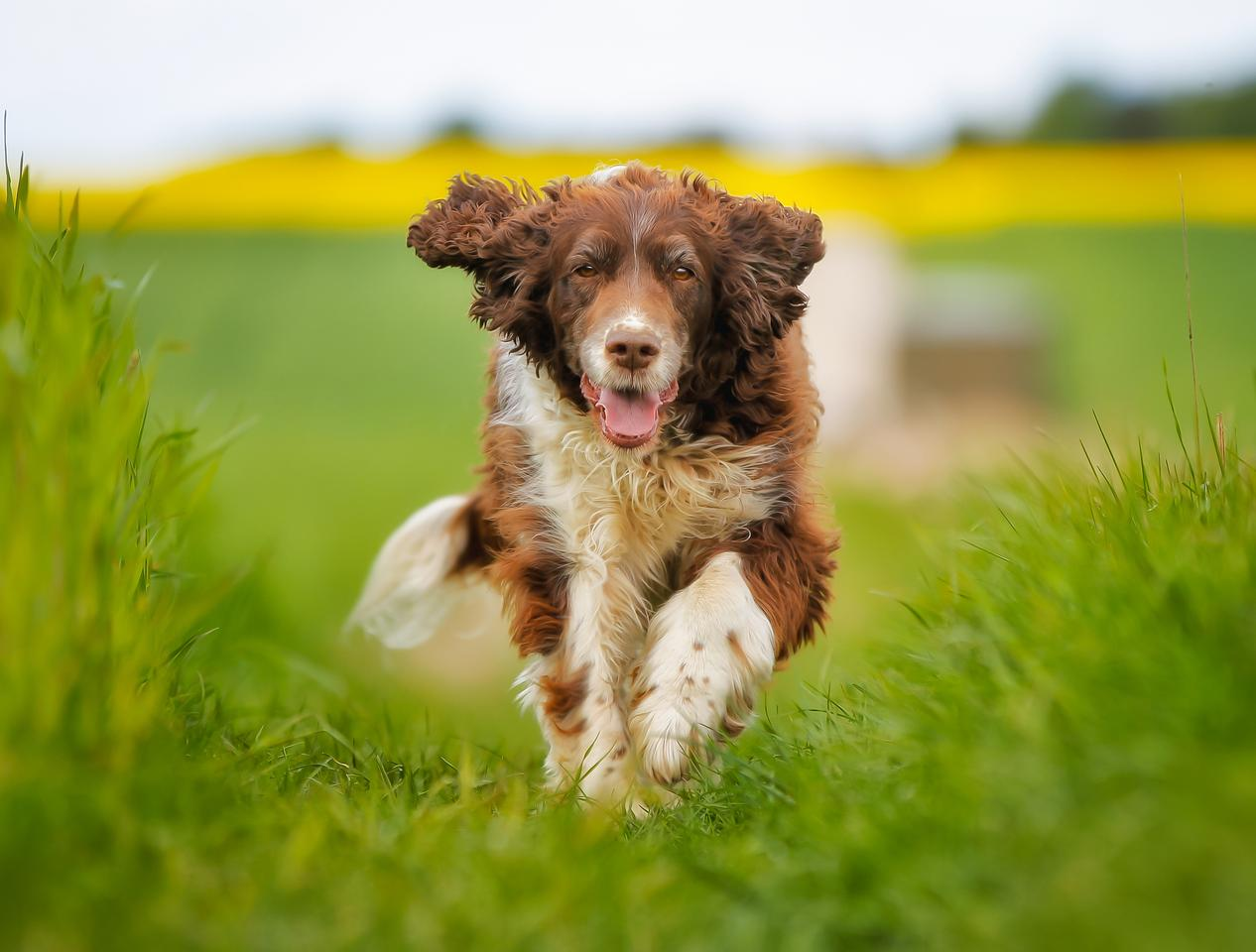 Scientists have previously trained springer spaniels to detect diseases like malaria, and hope to do the same for COVID-19
