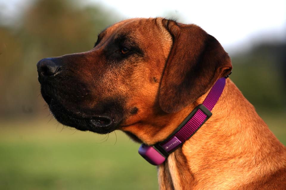 The PetPace collar tracks your pet's vital statistics