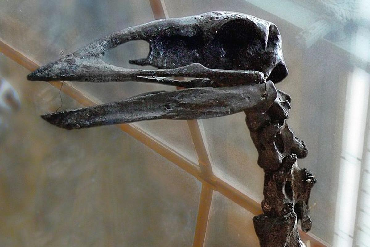 An elephant bird skull, which apparently didn't have much room for an optic lobe