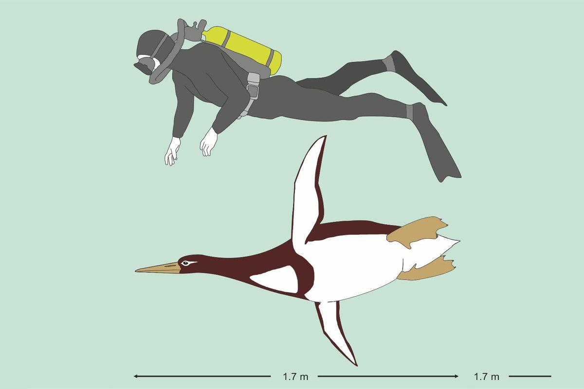 The ancient giant Kumimanu biceae would have been the size of a human diver