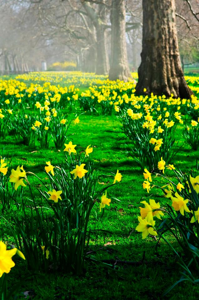 Daffodils are particularly temperature-sensitive plants