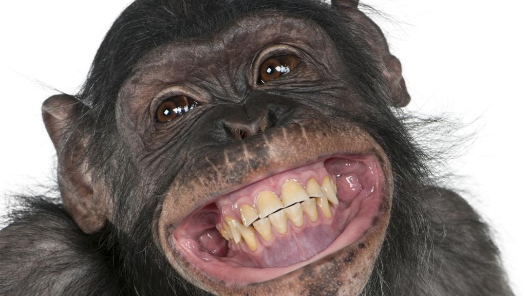 Researchers have developed a neuroprosthesis that restores hand movement in paralyzed monkeys - yes, we know, this is a half chimpanzee, half bonobo cross and not strictly a monkey (Photo: Shutterstock)