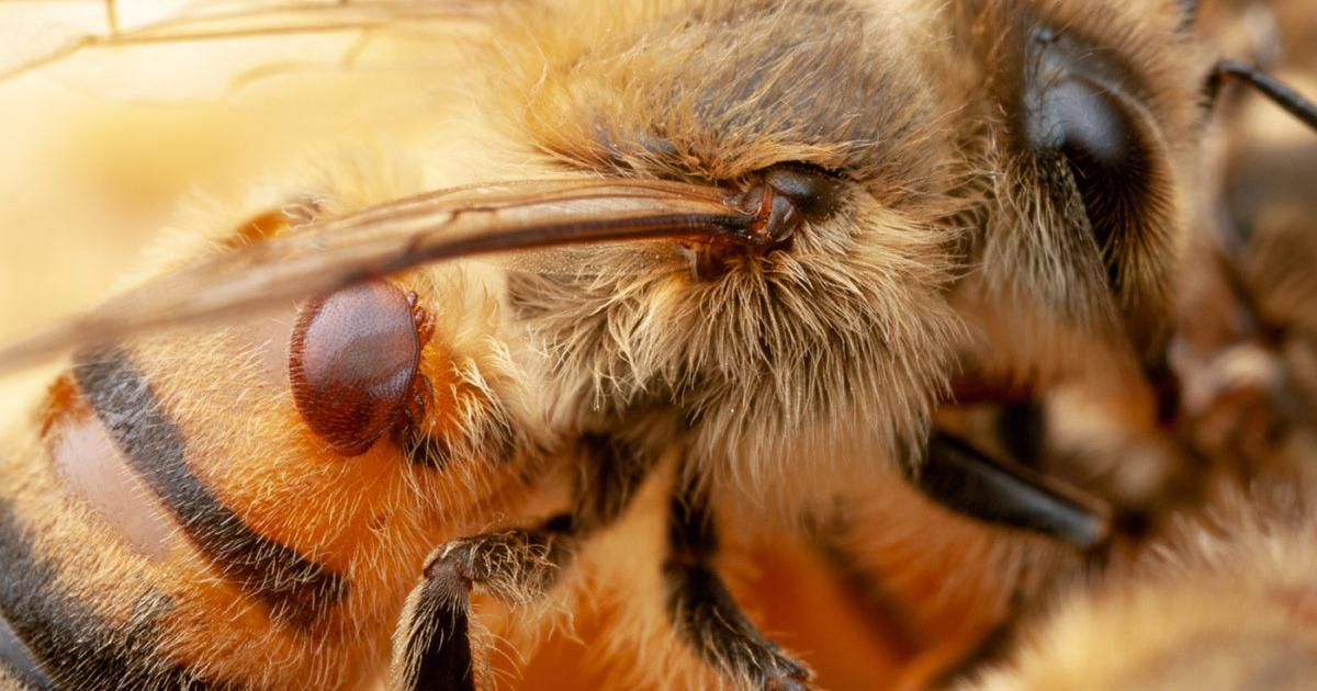Engineered bacteria immunize bees against cause of colony collapse