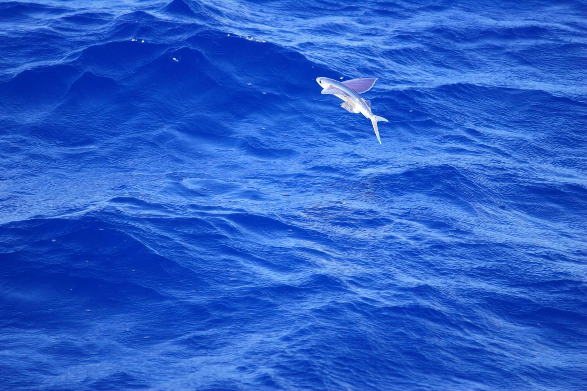 Researchers at Stanford University have built a machine which jumps and glides like a flying fish (Photo: Shutterstock)