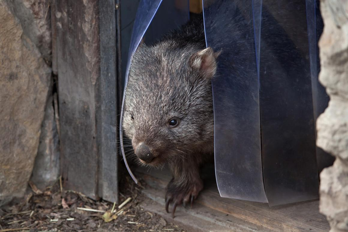 The wombat is the only animal in the world to produce square-shaped poop