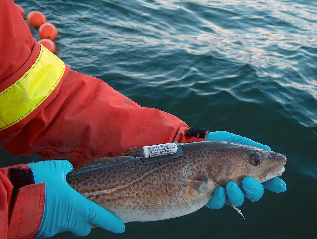 By tagging cod fish with data logging thermometers, European scientists have attained a better understanding of how the fish will tolerate rising ocean temperatures (Photo: Stefan Neuenfeldt, DTU Aqua)
