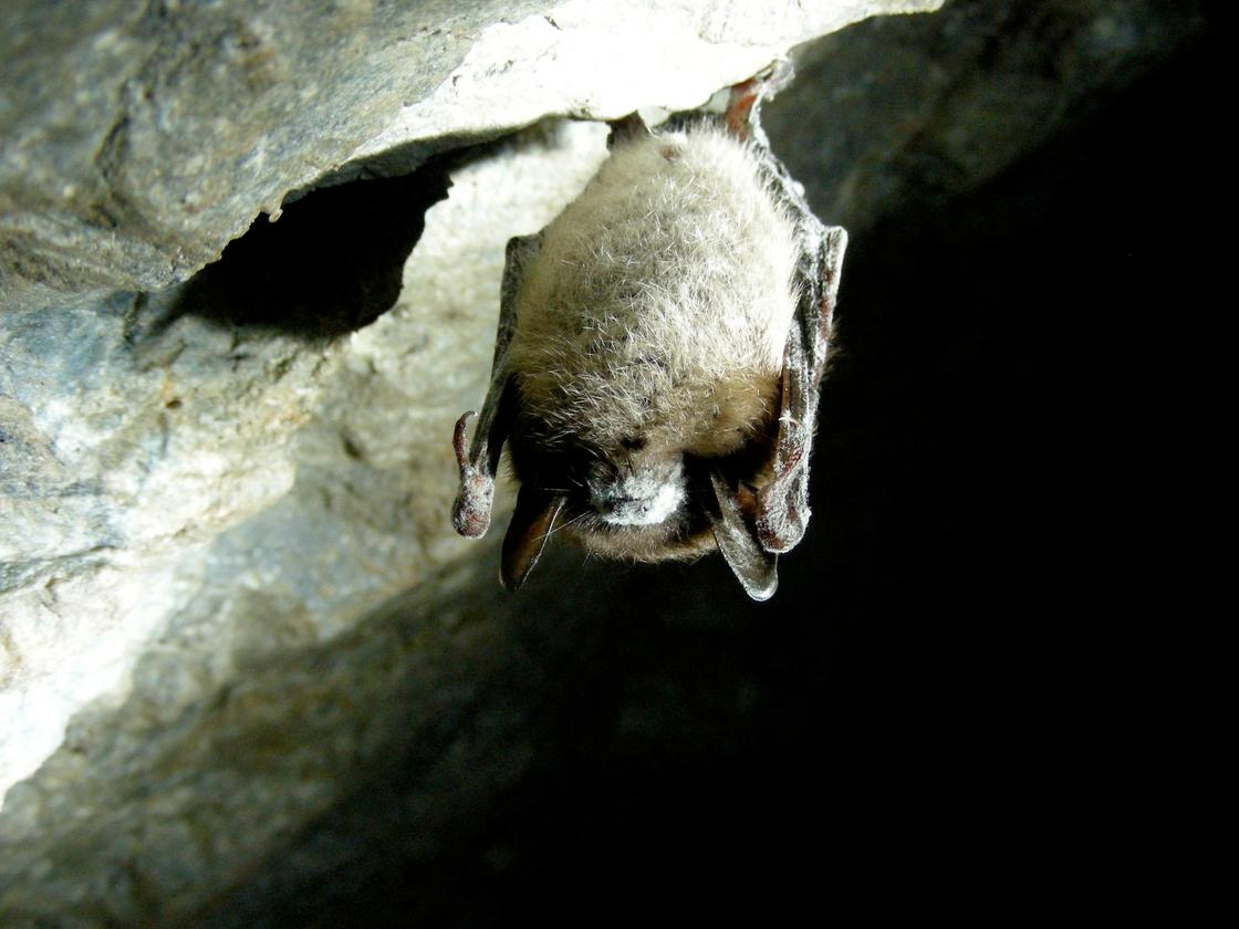 A little brown bat affected with white nose syndrome, which is visible as white fuzz around its muzzle