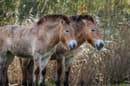 Przewalski's horses, once extinct in the wild, have been reintroduced successfully